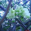 bugambilia blanca