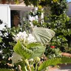 Mariposa de la col. Cabbage butterfly