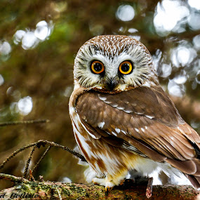 Saw-Whet Owl by Brad Bellisle - Animals Birds (  )