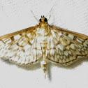 Zigzag Herpetogramma Moth