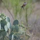 Scissor-tail Flycatcher