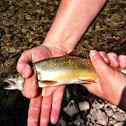 Rainbow trout (juvenile)