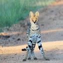 Serval, Tierboskat