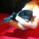 Goulds wattled bat