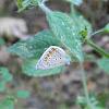Common Blue♂ (Ίκαρος)