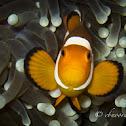 Ocellaris Clownfish, False Percula Clownfish