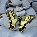 Old World Swallowtail - Machaon