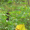 Lesser coucal (juvenile)