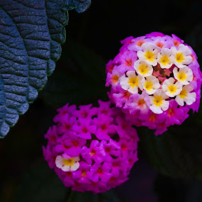 purple and yellow by Beckie Caughman - Flowers Flower Gardens ( purple, yellow, buds, garden, flower, color,  )