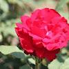 Hybrid Tea Rose 'Opening Night'