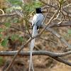 Asian Paradise Flycatcher, male