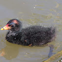 Dusky Moorhen (chick)