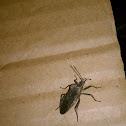 Helmeted Squash Bug
