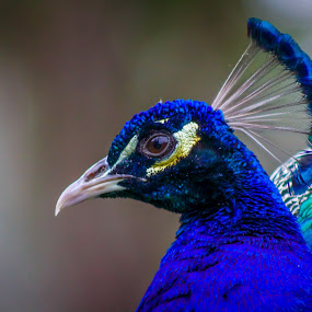 Peacock by Amro Labib - Animals Birds ( natural light, colorful, zoom, poses, stare, wildlife, colorfull, birds, eyes, colour, pose, colourful, forrest, zoo, nature, nature up close, colored, portraits, sydney, animal, eye, wild, headshot, animals, eyelashes, colors, portrait, colours, bird, national park, wild life, blue, color, national geographic, head shot, australia, summer, day, natural, peacock, daylight )