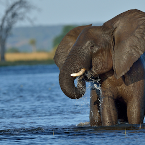 Thirsty by Tobie Oosthuizen - Animals Other Mammals ( botswana, chobe national park, drinking, elephant )