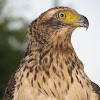 Crested Serpent Eagle (Juvenile)