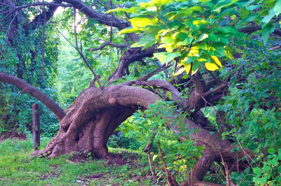 2011: Hunched Tree by Angela Theresa Egic - Nature Up Close Trees & Bushes ( graeme park, tree, 2011, pennsylvania, october )