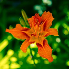 Daylily  by Eddie Tuggle - Flowers Single Flower ( orange, single flower, daylily, bloom, flower )