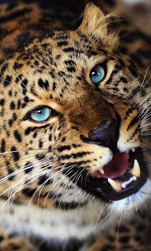 Leopard Jungle live wallpaper