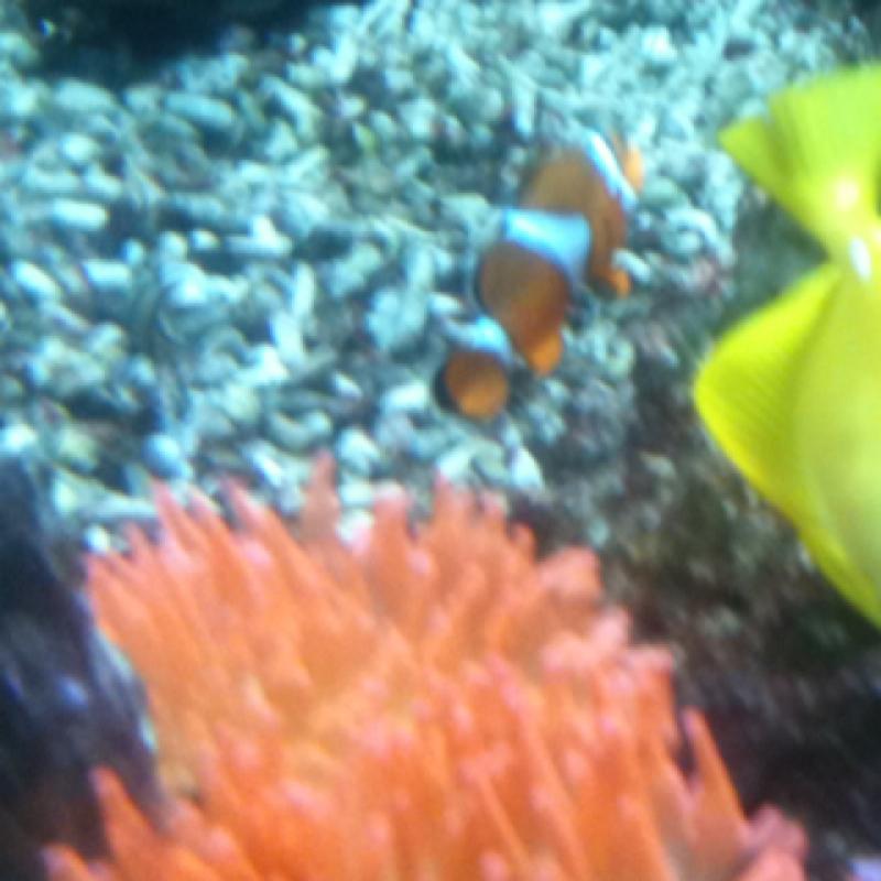 Clownfish - pesce pagliacio