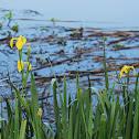 Lírio-dos-pântanos