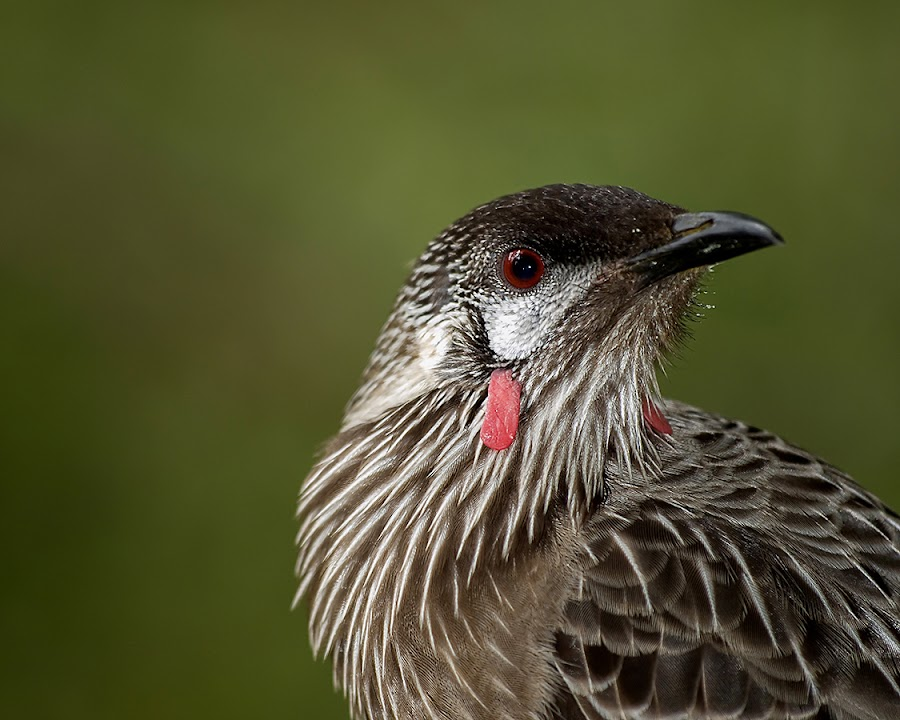 Red Wattlebird by Casey Argall - Animals Birds ( wattlebird, forests, earthly, australian, jade, green, mood, wildlife, scenic, relaxing, revive, bird, red, nature, emotions, trees, meditation, the mood factory, renewal, natural, inspirational )
