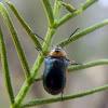 Cylinder leaf beetle