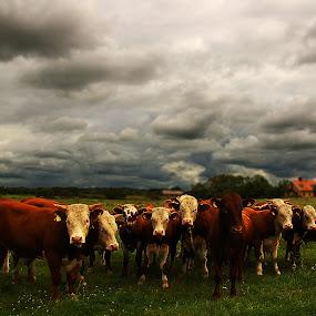 Cows by Kajsa Karlsson - Animals Other Mammals ( countryside, clouds, sky, grass, dark, summer, cow, darkness, cows,  )