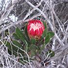 Bredasdorp protea