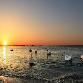 sunrise with swans by Ionel Covariuc - Landscapes Sunsets & Sunrises ( water, picture, swans, nature, sunrise, landscape )