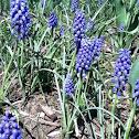 Blue Liriope Muscari