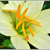 Fire Ants (on Zephyr Lily)