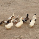 Feral Duck