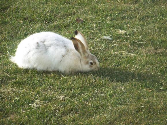 Cottontail Rabbit | Project Noah