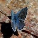 Unk Blue Butterfly