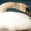 White Swan - Cisne blanco