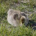 Greylag Goose (baby)