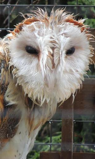 Big Wet Owl at rain HD LWP
