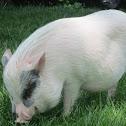 Miniture Potbelly Pig