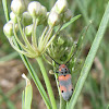 Milkweed longhorned beetle