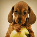Puppy Playing with Apple Live logo