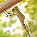 Eastern Willow Spreadwing