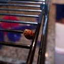 Multi Colored Asian Lady Beetle
