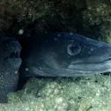 Morey eel, Conger eel