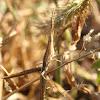 grass mimic grasshopper