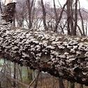 White bracket fungus