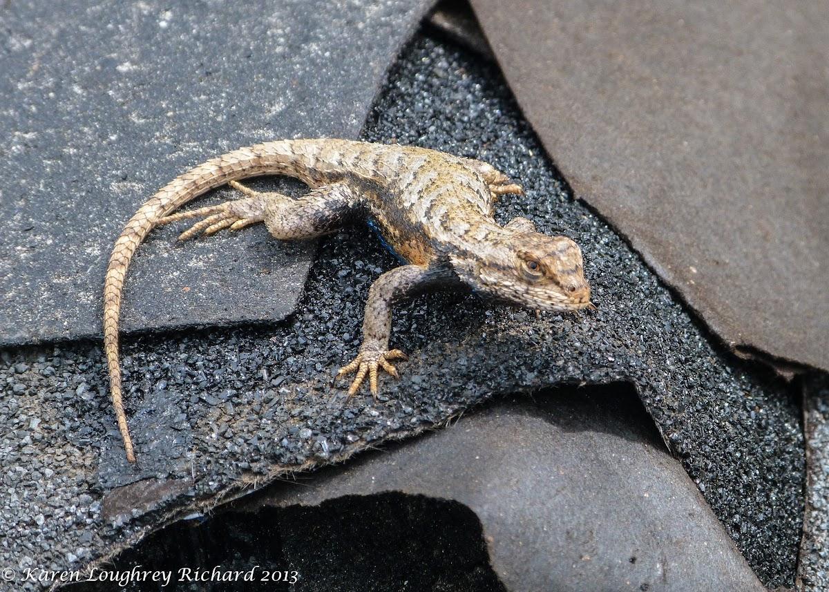 Eastern fence lizard