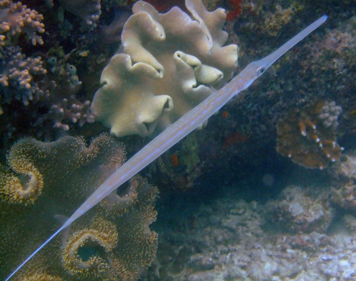 Blue Spotted Cornetfish   Project Noah