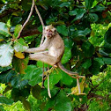 Long-tailed macaque / Monyet ekor panjang