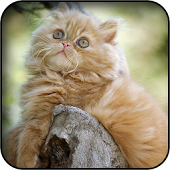 Persian Cat Wallpapers
